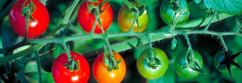 Hortícola – Tomate